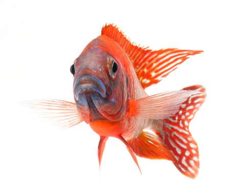 buntbarsch: red Cichliden, ruby ??red peacock Fisch, isoliert auf wei�em Hintergrund Lizenzfreie Bilder