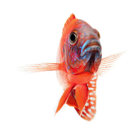 red cichlid fish, ruby red peacock fish, isolated on white background Stock Photo - 11542060