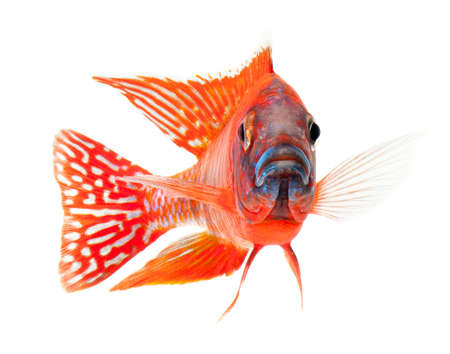 cichlid: red cichlid fish, ruby red peacock fish, isolated on white background