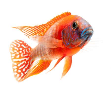 buntbarsch: rote Buntbarsch, rubinrot Pfau Fisch, isoliert auf wei�em Hintergrund