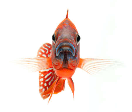 chidae: red cichlid fish, ruby red peacock fish, isolated on white background