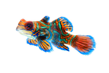 exotic pet: mandarin dragonet fish isolated on white backgound Stock Photo