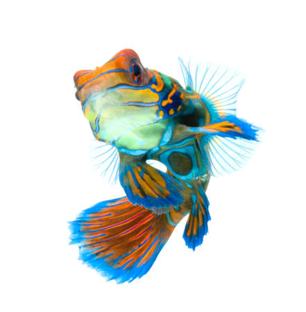 tropical fish: mandarin dragonet fish isolated on white backgound Stock Photo