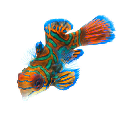 dragonet: mandarin dragonet fish isolated on white backgound Stock Photo