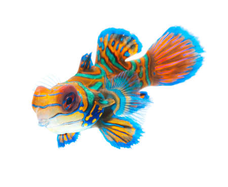 fish tail: mandarin dragonet fish isolated on white backgound Stock Photo