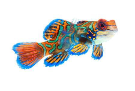 mandarin dragonet fish isolated on white backgound Stock Photo
