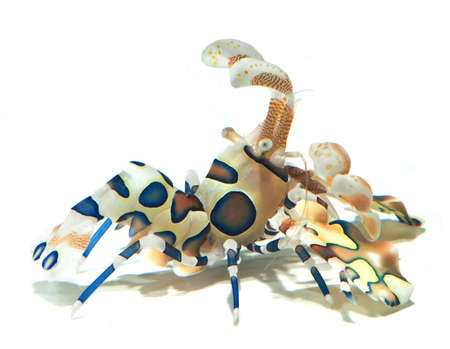 Harlequin shrimp isolated on white background photo