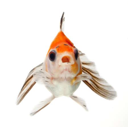 fancy goldfish isolated on white background photo