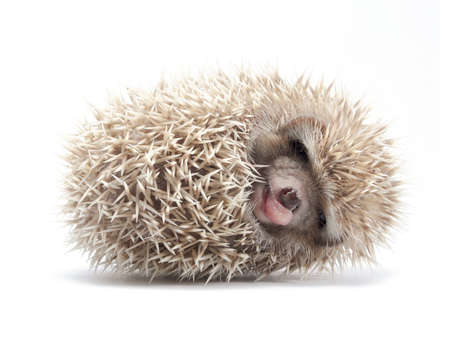 hedgehog:  Hedgehog isolate on white background Stock Photo