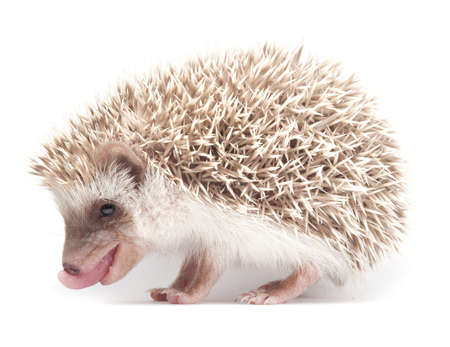 Hedgehog isolate on white background  Stock Photo - 11584099