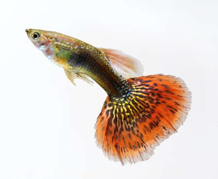 peces de acuario: rojo guppy mascotas peces