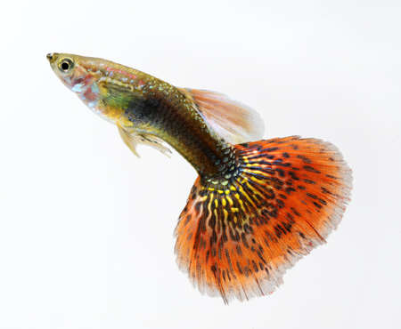 pez pecera: rojo guppy mascotas peces