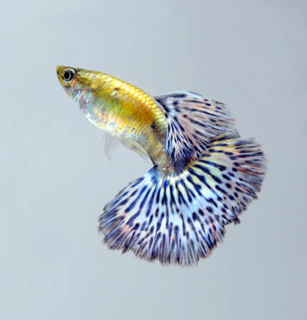 blue guppy pet fish Stock Photo - 11935219