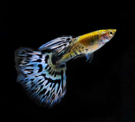 accosting: blue guppy pet fish