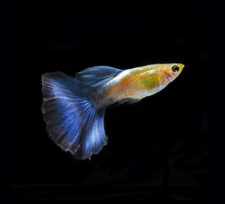accosting: blue guppy pet fish