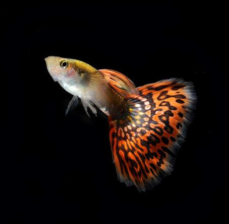 pet fish: rosso guppy pesci pet
