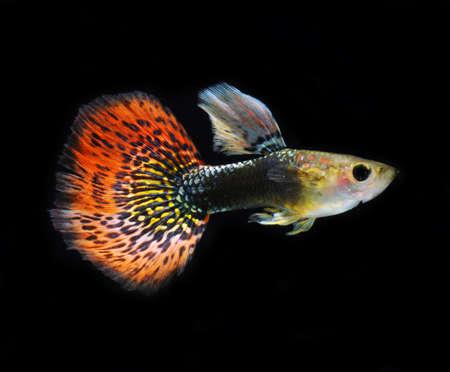 pet fish: guppy pesci rossi pet Archivio Fotografico