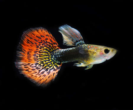 accosting: red guppy pet fish