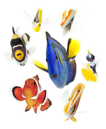 peces de acuario: peces marinos aislados sobre fondo blanco