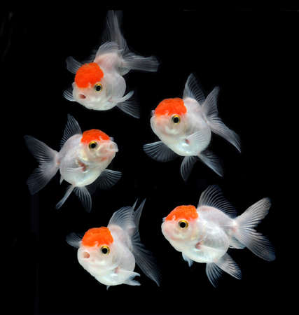 jelly fish: goldfish on black background