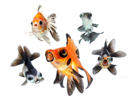 tropical fish: goldfish collection on white background
