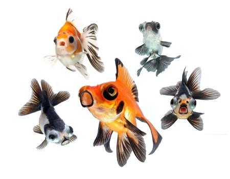 peces de acuario: peces de colores recogida en el fondo blanco Foto de archivo