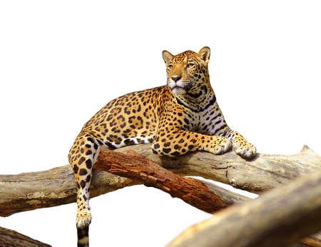 animales de la selva: Jaguar gato tigre aislado en blanco