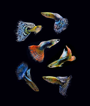 accosting: fish pet guppy collection isolated on black background Stock Photo