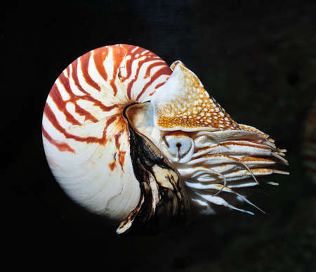nautilus swimming, alive Stock Photo - 12179665