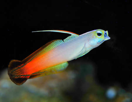 fish fire: marine fish , fire dartfish Stock Photo