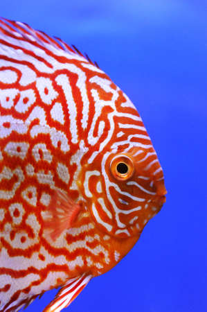 tropical fish: pompadour pet fish close up
