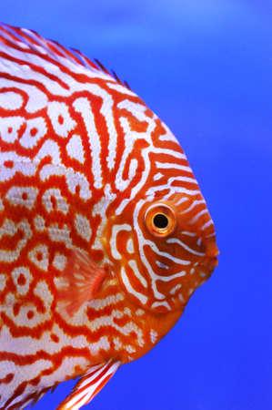 tropical fresh water fish: pompadour pet fish close up