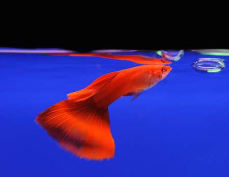 guppy fish: red guppy pet fish