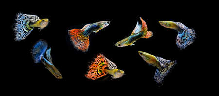 accosting: fish guppy pet isolated on black background  Stock Photo
