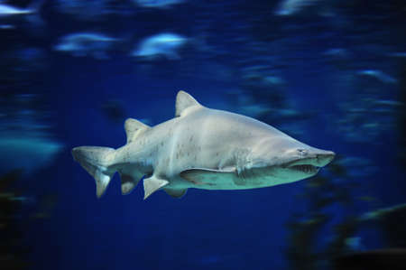 bull shark: shark fish, bull shark, marine fish underwater Stock Photo