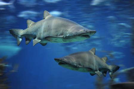 bull shark: shark fish, bull shark, marine fish underwater Stock Photo