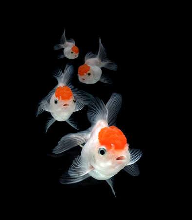 peces de colores: peces de colores sobre fondo negro Foto de archivo