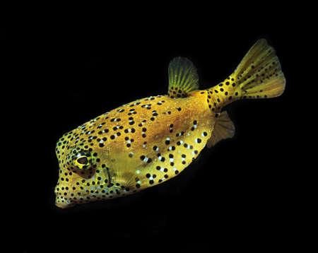 marine fish, tropical reef fish, yellow box puffer fish on black background Stock Photo - 12908845