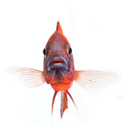 funny fish, red cichlid fish, ruby red peacock fish, isolated on white background Stock Photo