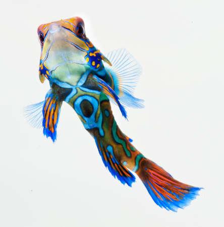 aquarium hobby: marine fish, reef fish, mandarin  dragonet isolated on white background