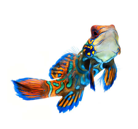 poissons marins, poissons de r�cif, mandarine dragonet isol� sur fond blanc photo