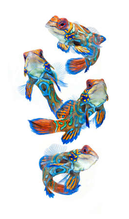 marine fish, reef fish, mandarin  dragonet isolated on white background Stock Photo - 12908874