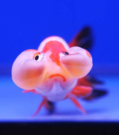 exotic pet: funny face goldfish on blue background