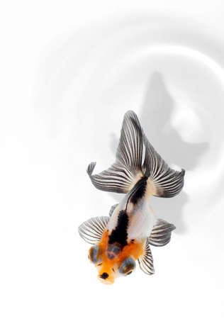 black moor: fancy goldfish from top view