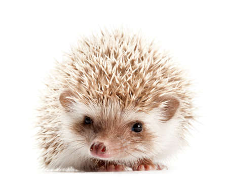 hedgehog: Hedgehog isolate on white background