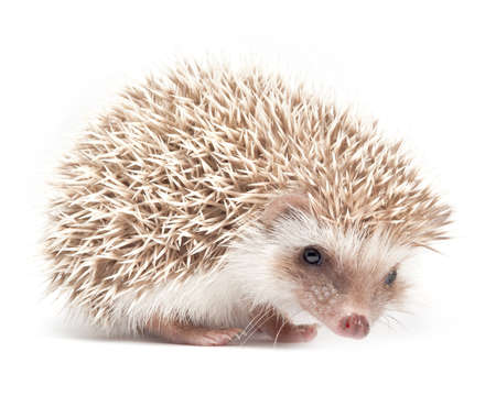 Hedgehog isolate on white background photo