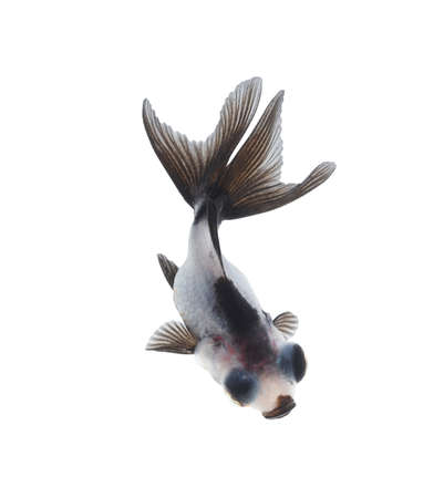 black moor: goldfish from top view  Stock Photo