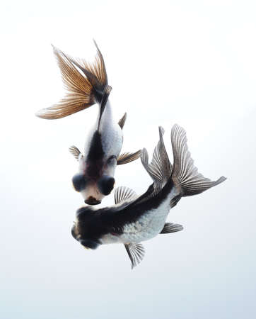 black moor: goldfish from top view