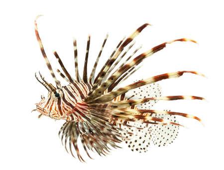 peces de acuario: peces marinos, peces le�n aislado en el fondo blanco
