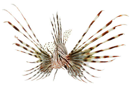 marine fish, lion fish isolated on white background Stock Photo - 13187147